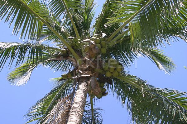 Cocotier arbre Palm noix de coco ciel bleu ciel Photo stock © lisafx