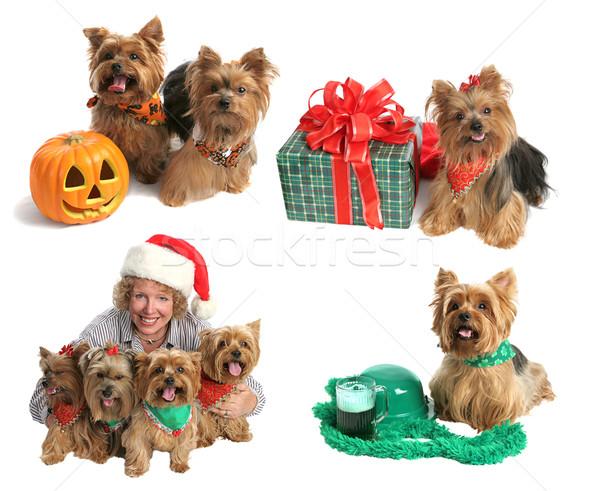 Holiday Yorkie Collection Stock photo © lisafx