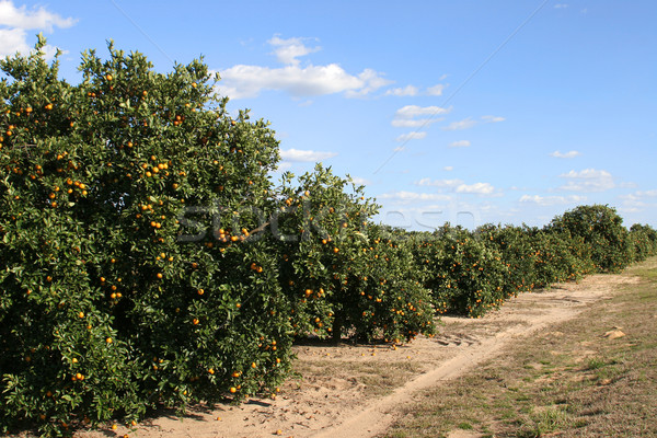 Florida Orange Crop 1 Stock photo © lisafx