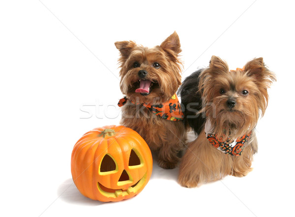 Yorkies Trick Or Treat Stock photo © lisafx
