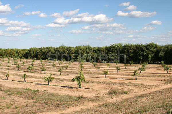 Florida Orange Groves Stock photo © lisafx