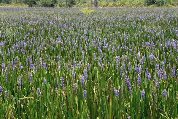 Stock photo: Sea of Purple