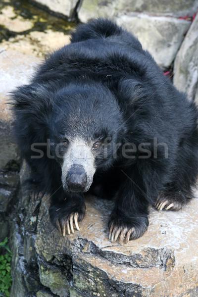 Sloth Bear Stock photo © lisafx