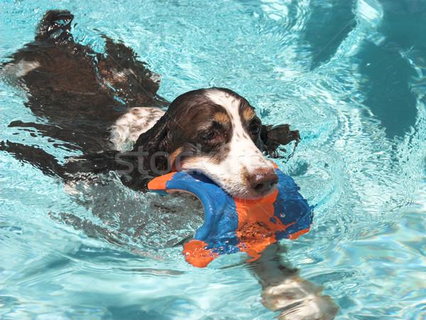 Swimming Spaniel Stock photo © lisafx