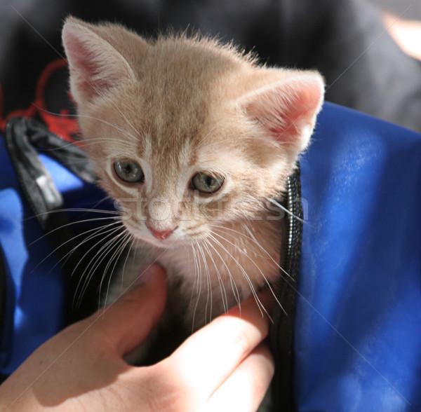Kedi yavrusu sırt çantası çok güzel dışarı el bebek Stok fotoğraf © lisafx