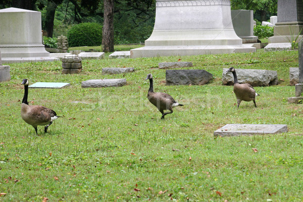 Kerkhof ganzen lopen dood vogels leven Stockfoto © lisafx