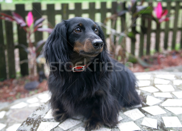 Dachshund Portrait Outdoors Stock photo © lisafx