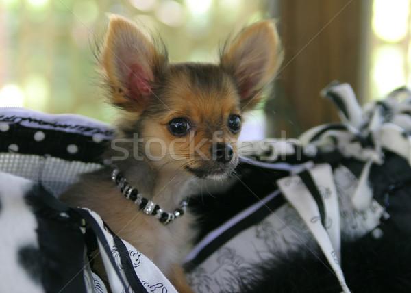Bolso cachorro adorável bolsa marrom Foto stock © lisafx
