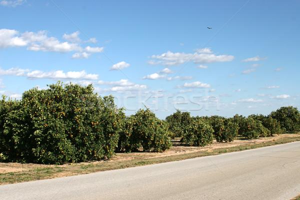 Orange Groves In Florida Stock photo © lisafx
