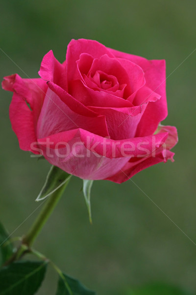 Caldo luminoso magenta colorato rosa Foto d'archivio © lisafx