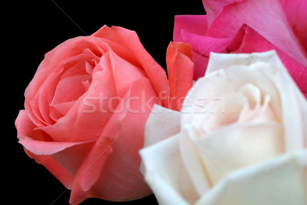 Rose Trio On Black Stock photo © lisafx