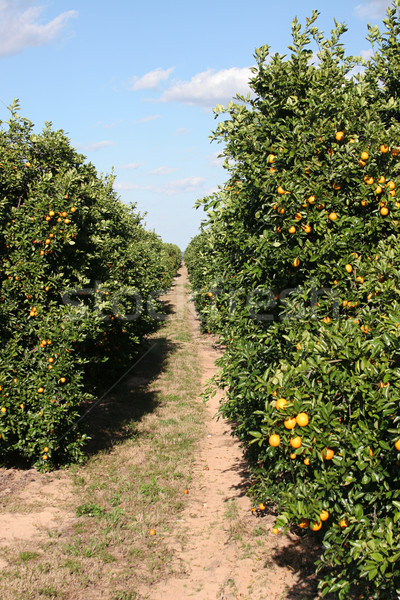 Trail Through Citrus Grove Stock photo © lisafx