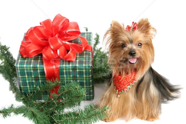 Christmas Yorkshire Terrier Stock photo © lisafx