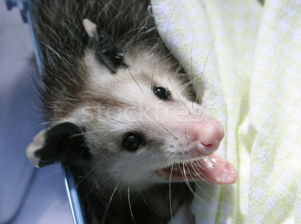 Orphaned Opossum Baby Stock photo © lisafx