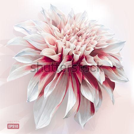 Dália vektor virág absztrakt természet terv Stock fotó © LisaShu