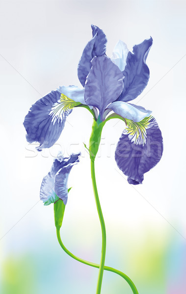 Blue Iris vector flower  Stock photo © LisaShu