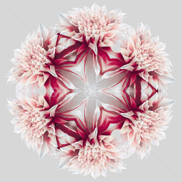 Dahlia_kaleidoscope_6_2 Stock photo © LisaShu