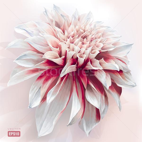 Aquarel dahlia luxueus tuin bloem geschilderd Stockfoto © LisaShu