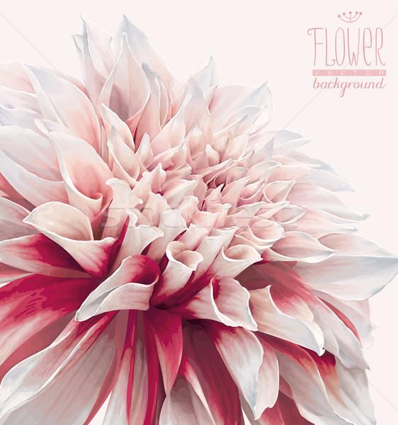 Dahlia bloem vector bloem valentijnsdag bruiloft evenementen Stockfoto © LisaShu