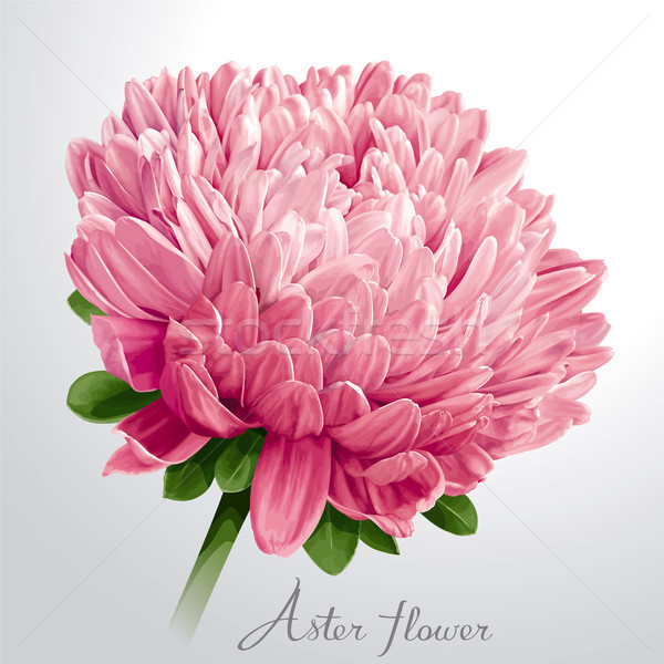 Luxurious pink Aster flower Stock photo © LisaShu