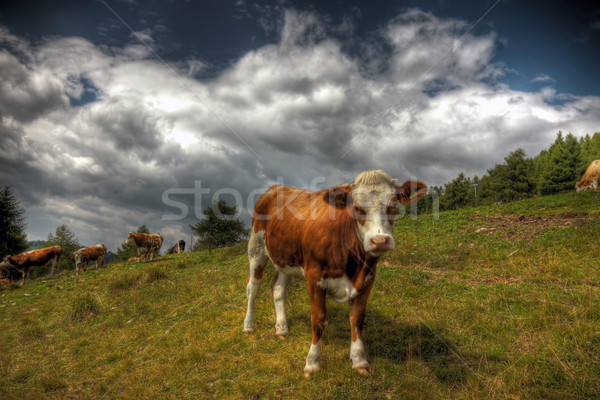 Cow in a pasture Stock photo © LIstvan