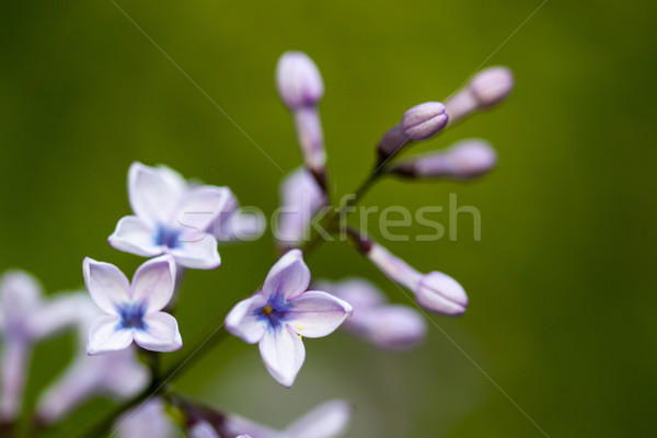 organ buds and flowers on green background Stock photo © LIstvan