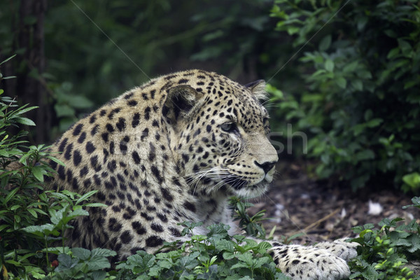 Leopard Stock photo © LIstvan