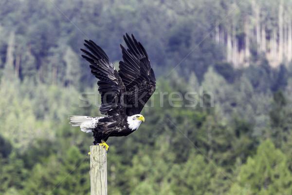 Bald eagle Stock photo © LIstvan