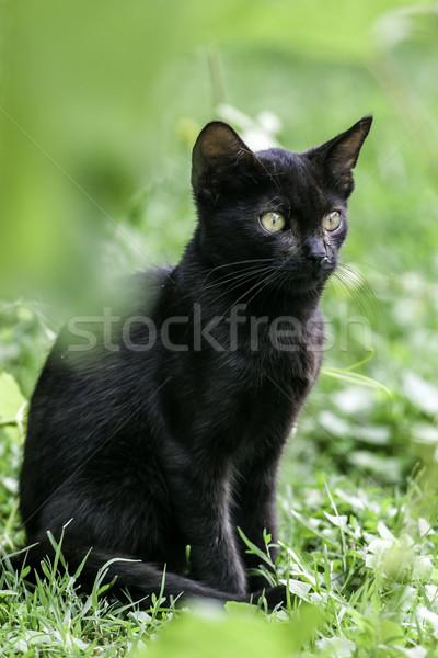 Black cat Stock photo © LIstvan