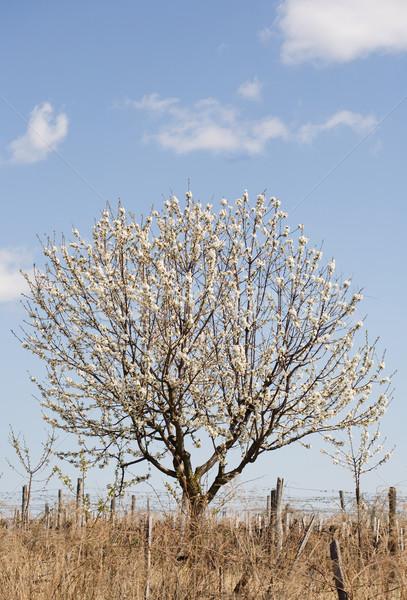 Florescimento primavera árvore frutífera blue sky nuvens flores Foto stock © lithian