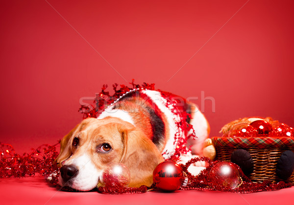 Christmas beagle. Stock photo © lithian