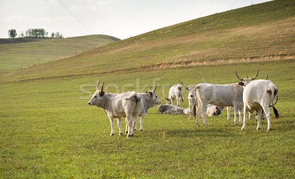The hungarian gray cattle. Stock photo © lithian
