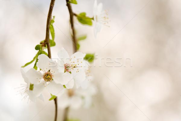 美しい 早い 春の花 新鮮な 日光 花 ストックフォト © lithian