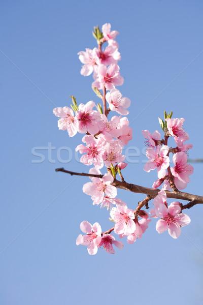 Przepiękny wiosną wiśniowe kwiaty słońca kolorowy Zdjęcia stock © lithian