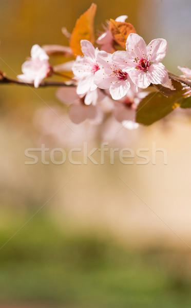 Florescer colorido flores da primavera flores natureza macro Foto stock © lithian