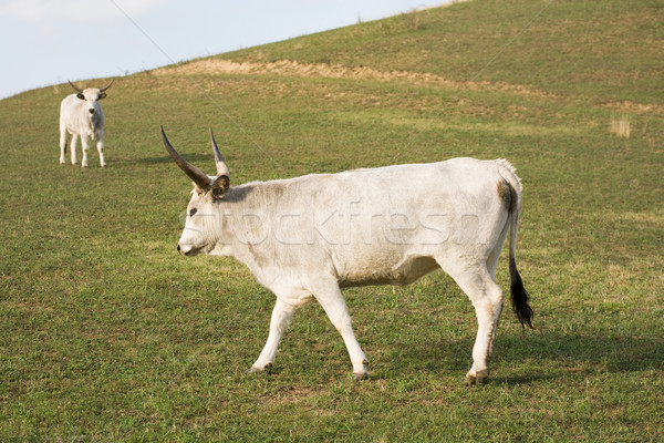 Stock photo: The hungarian gray cattle.