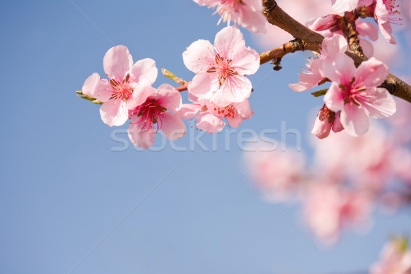 Beautiful spring flowers with clear blue sky. Stock photo © lithian
