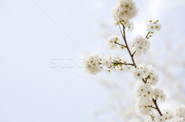 Güzel erken bahar çiçekleri taze güneş ışığı çiçekler Stok fotoğraf © lithian