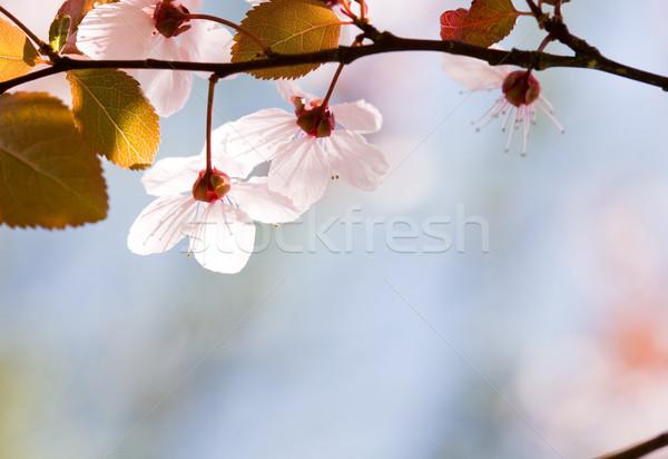 Florescer colorido flores da primavera flores primavera natureza Foto stock © lithian