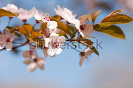 Stock photo: Beautiful early spring flowers.