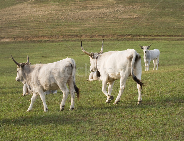 Stock photo: Hungarian gray cattle grazing outdoors.