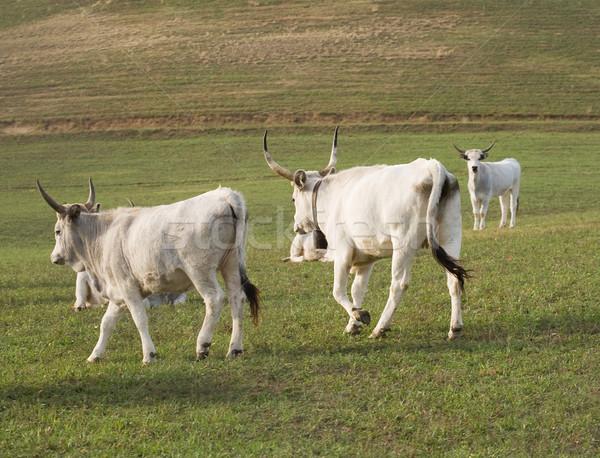 Magyar szürke szarvasmarha kint egyedi fajta Stock fotó © lithian
