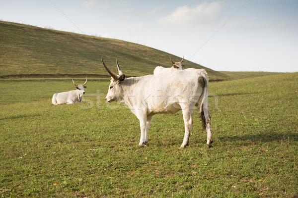 серый скота специальный трава Сток-фото © lithian