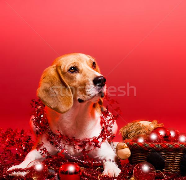 Noel tazı portre çok güzel sevimli komik Stok fotoğraf © lithian