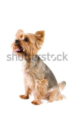 Adulto maschio yorkshire terrier studio ritratto Foto d'archivio © lithian