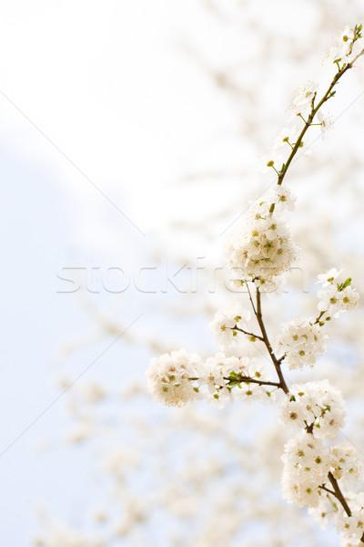Florescer colorido flores da primavera flores primavera azul Foto stock © lithian