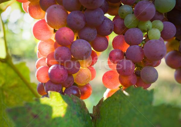 赤ワイン 生まれる 遅い 秋 ワイン 青 ストックフォト © lithian