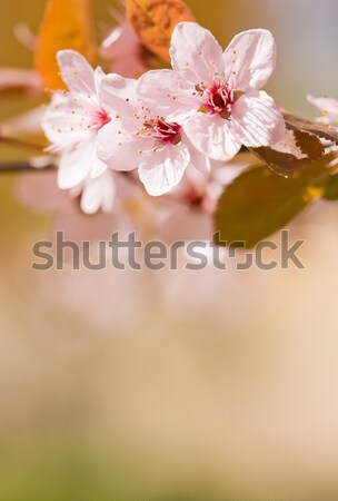 Beautiful delicate early spring flowers. Stock photo © lithian