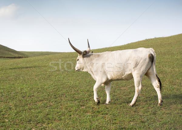 Uniek ras hongaars grijs vee gras Stockfoto © lithian