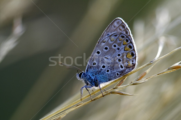 синий бабочка Буш коричневый цветок Сток-фото © lkpro